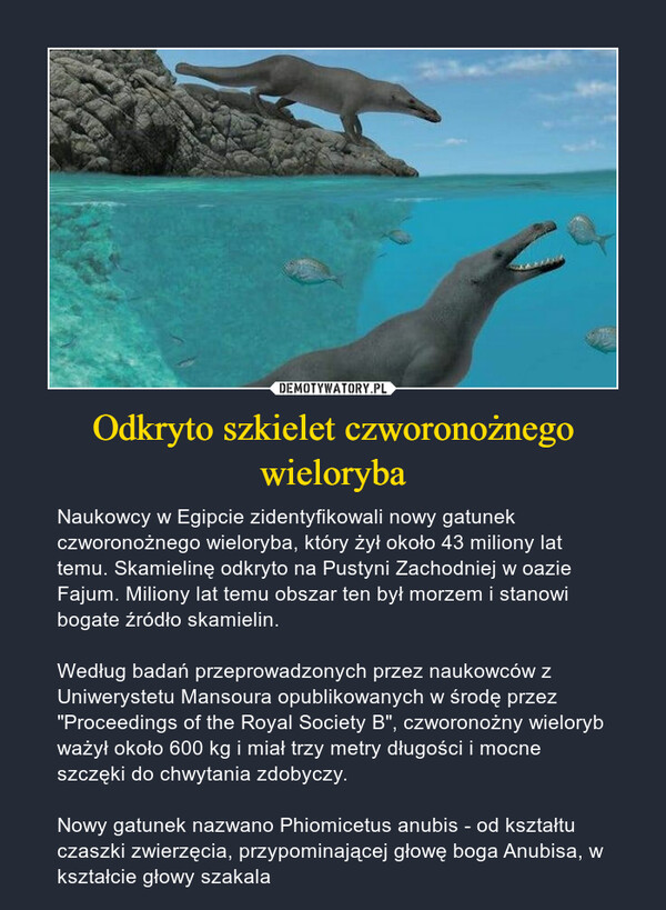"""Odkryto szkielet czworonożnego wieloryba – Naukowcy w Egipcie zidentyfikowali nowy gatunek czworonożnego wieloryba, który żył około 43 miliony lat temu. Skamielinę odkryto na Pustyni Zachodniej w oazie Fajum. Miliony lat temu obszar ten był morzem i stanowi bogate źródło skamielin.Według badań przeprowadzonych przez naukowców z Uniwerystetu Mansoura opublikowanych w środę przez """"Proceedings of the Royal Society B"""", czworonożny wieloryb ważył około 600 kg i miał trzy metry długości i mocne szczęki do chwytania zdobyczy.Nowy gatunek nazwano Phiomicetus anubis - od kształtu czaszki zwierzęcia, przypominającej głowę boga Anubisa, w kształcie głowy szakala"""