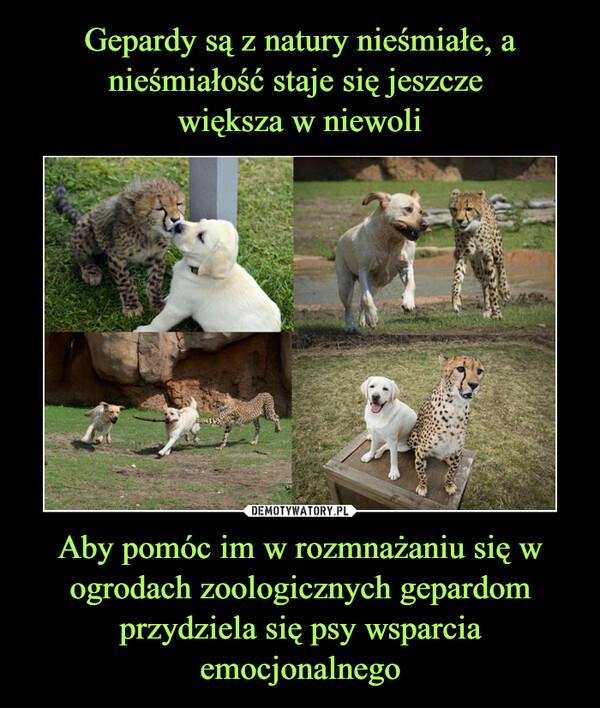 Aby pomóc im w rozmnażaniu się w ogrodach zoologicznych gepardom przydziela się psy wsparcia emocjonalnego –